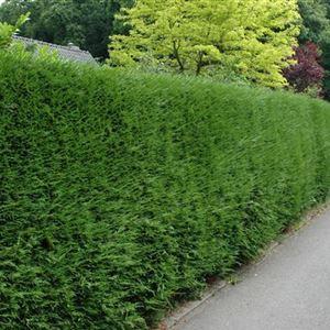 Thuja Brabant Lebensbaum 125 bis 150 Höhe 11 Euro Heckenpflanzen  Sichtschutz   eBay
