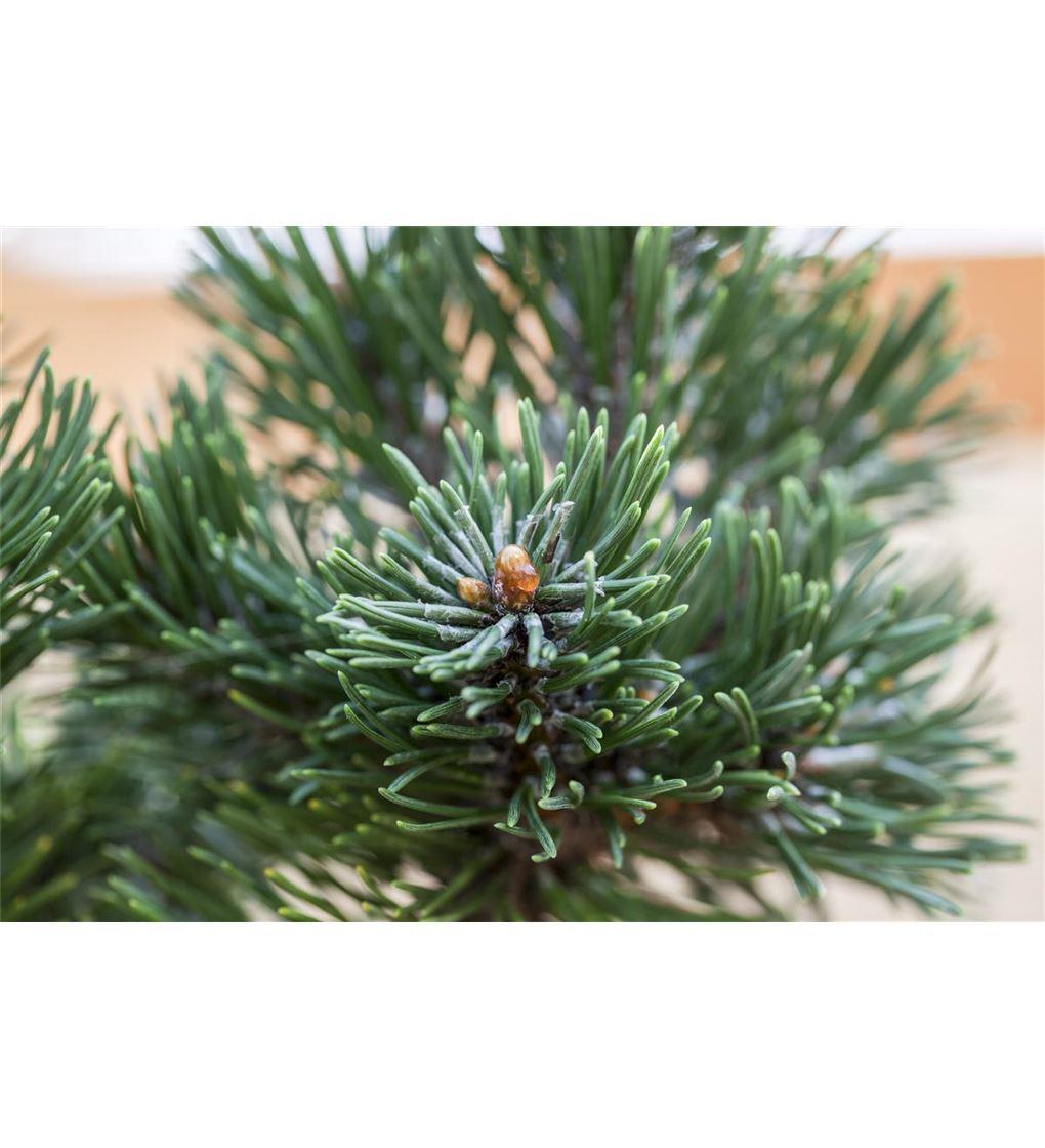 blaue Grannenkiefer Pinus aristata Blue Cover